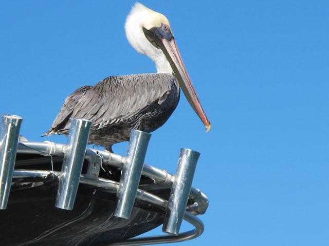 Pelikan in der Karibik