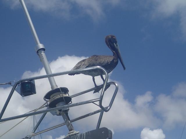 Pelikan ein-sehr-eigenwilliger-Vogel