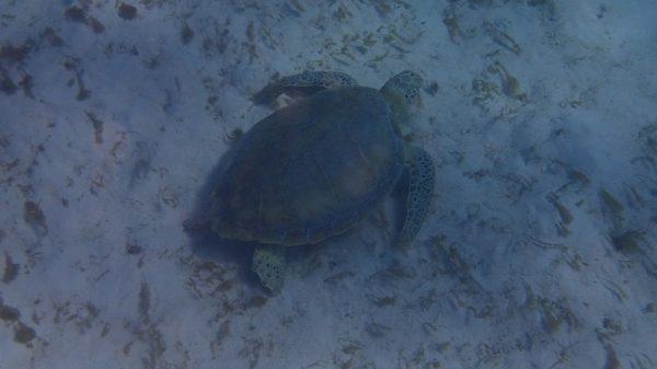 Und schon ist die erste Schildkröte gesichtet