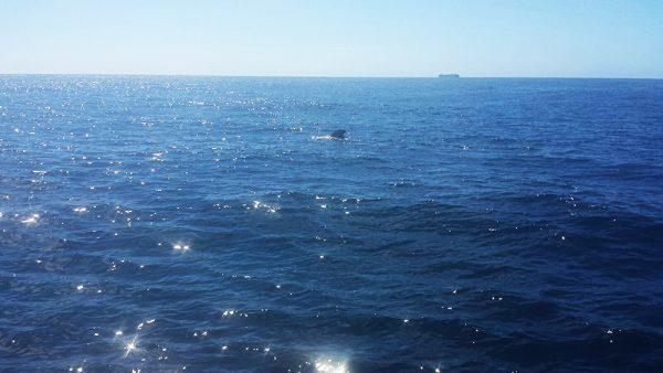 Pilotwal gesichtet auf den Kanaren