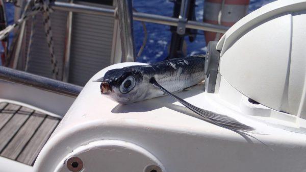 Ein fliegender Fisch hat sich an Bord verirrt