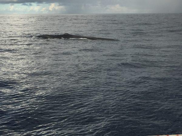 Zwei Wale begleiten uns ein kurzes Stück – ein toller Anblick