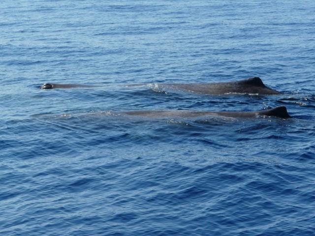 Wale vor Korsika