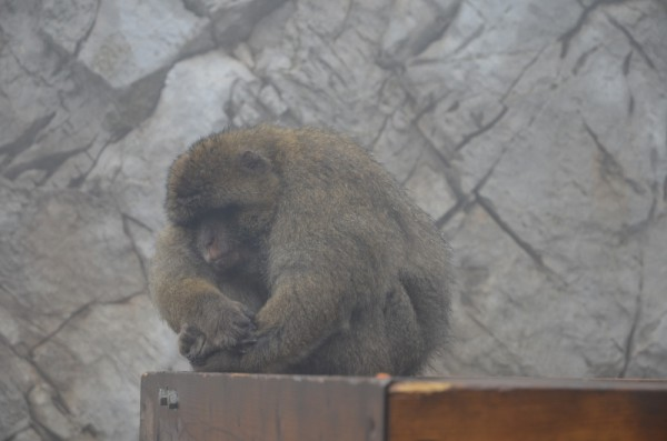 Der Affe wettert den Regenschauer ab