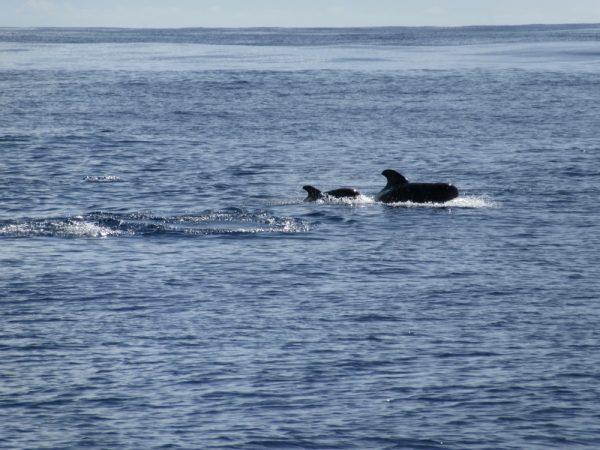 Wale begrüßen uns kurz vor Lanzarote