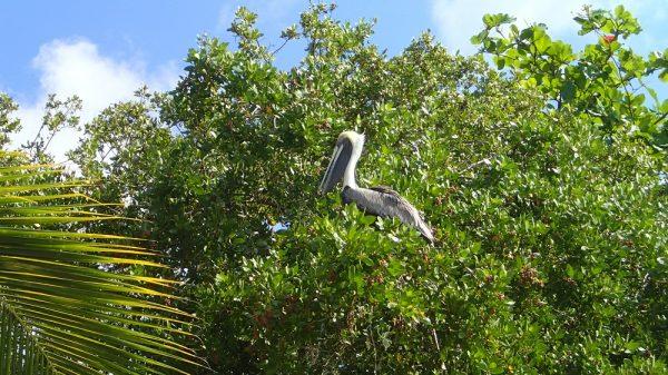 Pelikan auf Marina Cay
