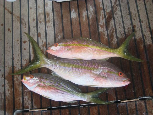 Anglerglück in der Karibik_ 3 auf einen Streich