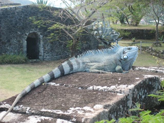 Leguane auf den Iles des Saintes