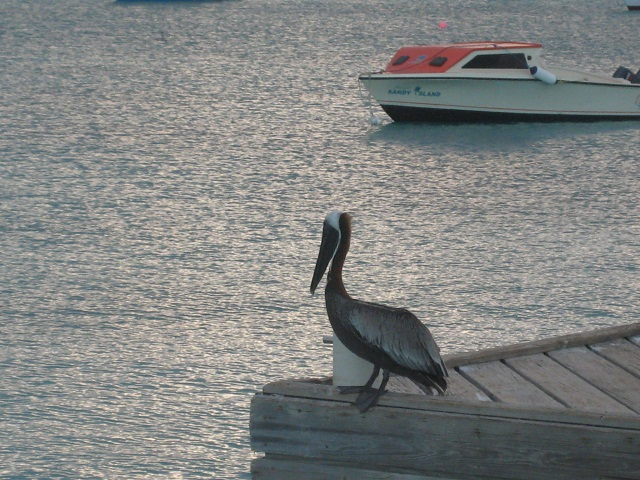 Pelikan (für Insider-Peligage)