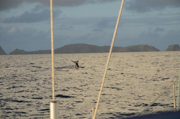 Ein Pottwal grüßt uns nach 5 Tagen Überfahrt vor Madeira