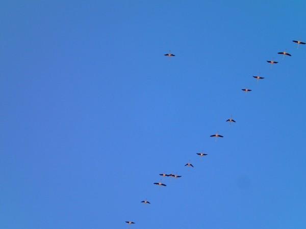 Flamingos am Himmel über Cagliari