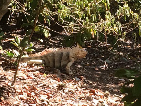 Leguane satt auf Baradal