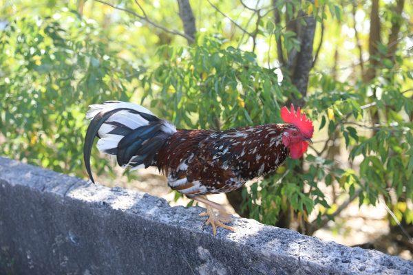 Das Federvieh hat ein tolles Leben auf den Inseln. Massentierhaltung? Was ist das?