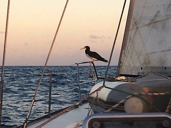 Brown Booby an Bord