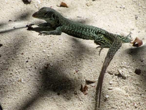 Mini-Dino