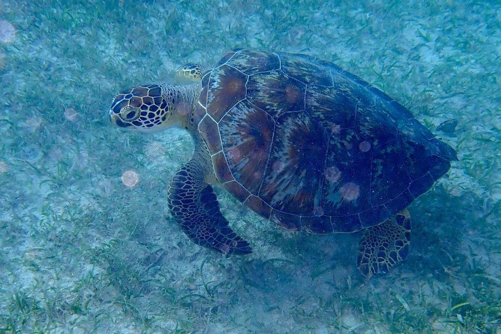 Und immer wieder Schildkröten