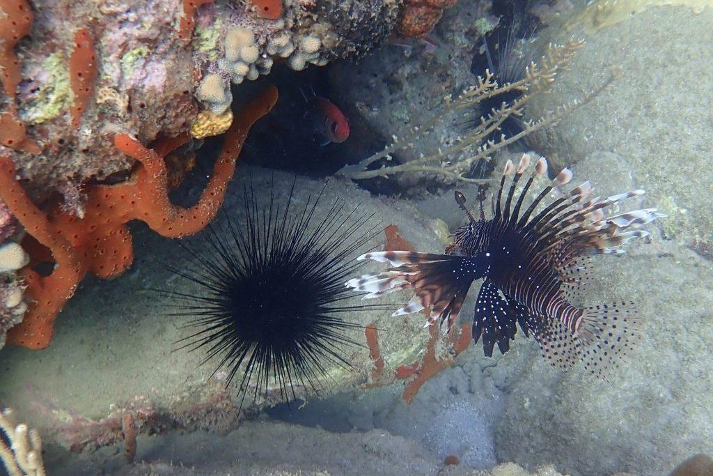 Faszinierender Feuerfisch vor tropischem Seeigel