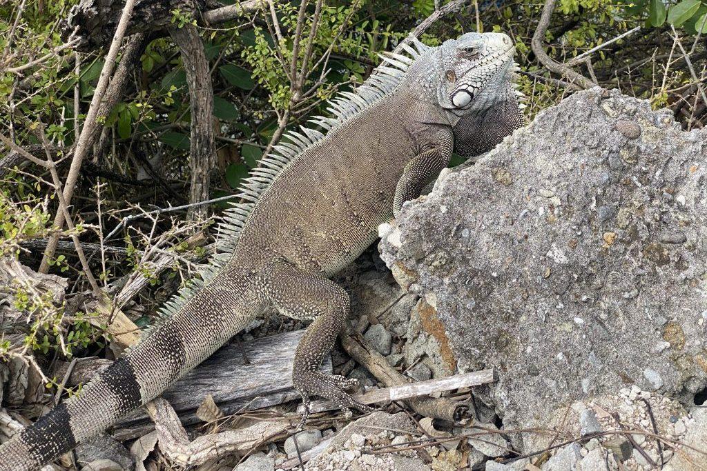 Leguane, häufig zu beobachten auf den Inseln