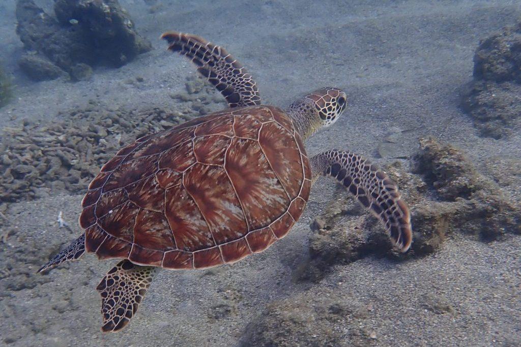 Immer wieder toll zu beobachten, Schildkröten auf den Antillen