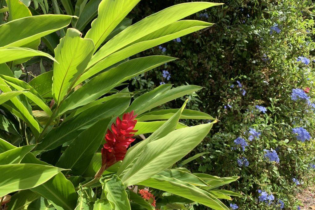 Alles blüht Martinique