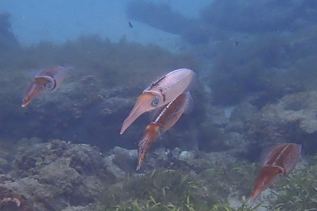 Kalmare Martinique