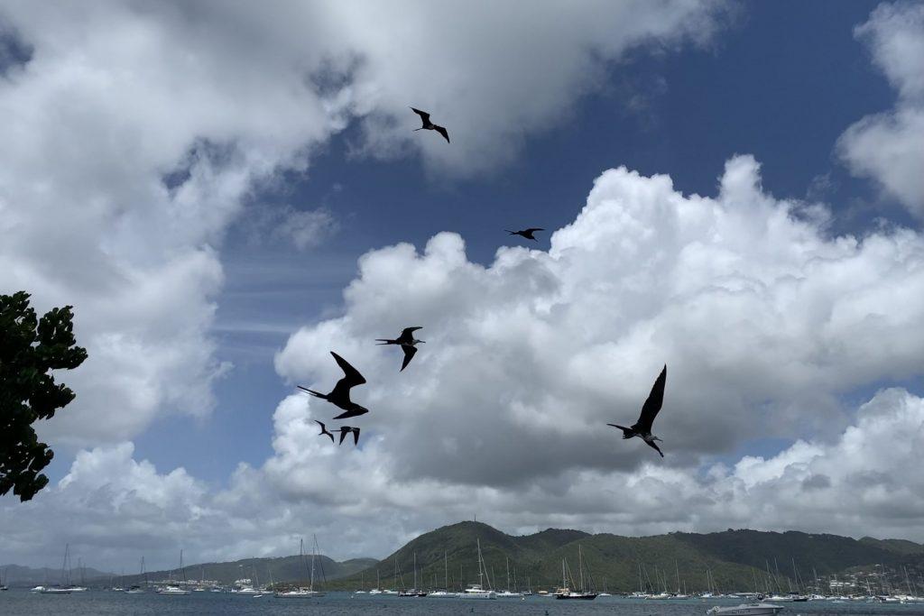 Fregattvögel